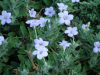 Wild petunia (Wendy Ford)