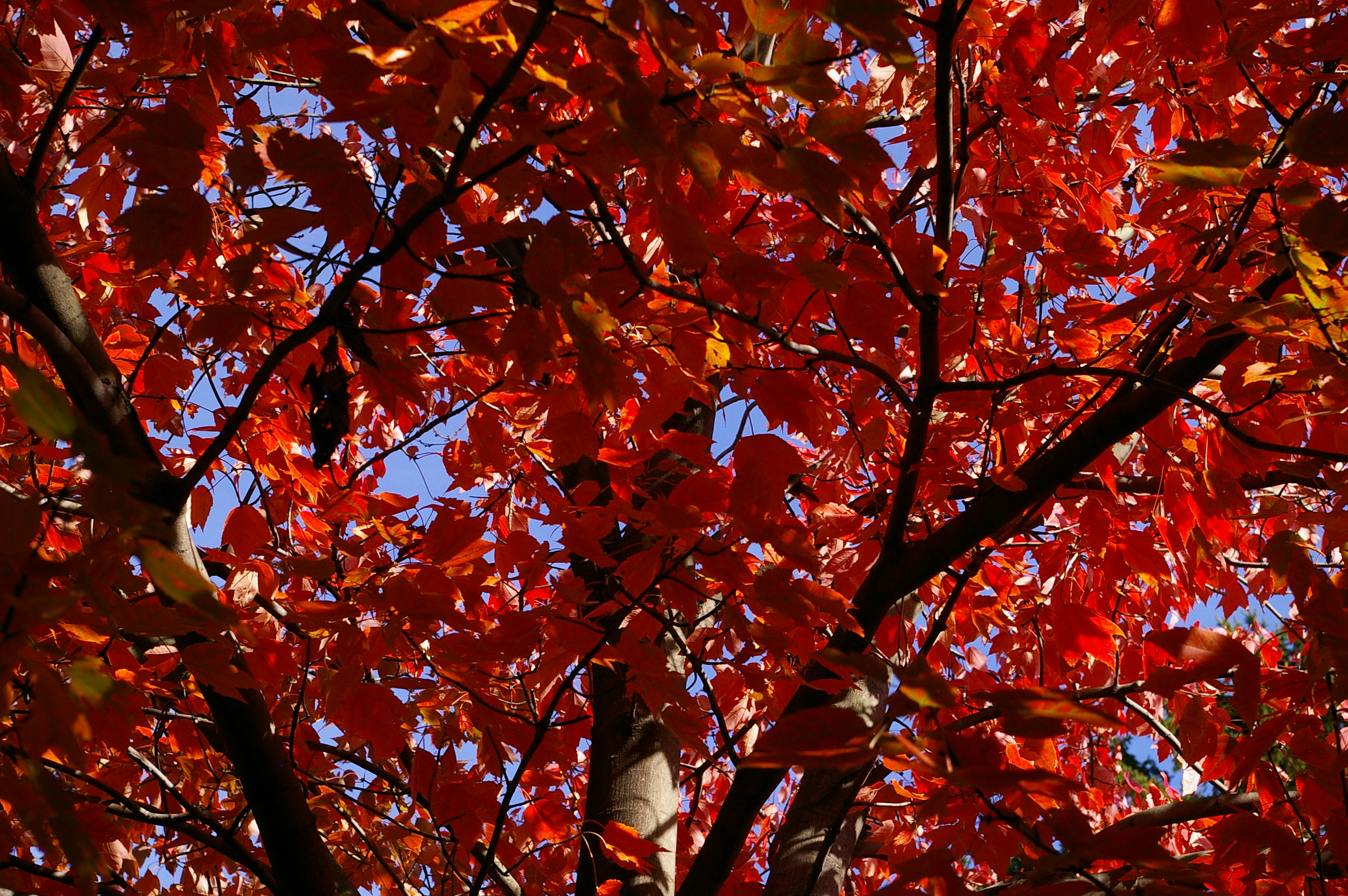 Red maple (Anita Bracalante)