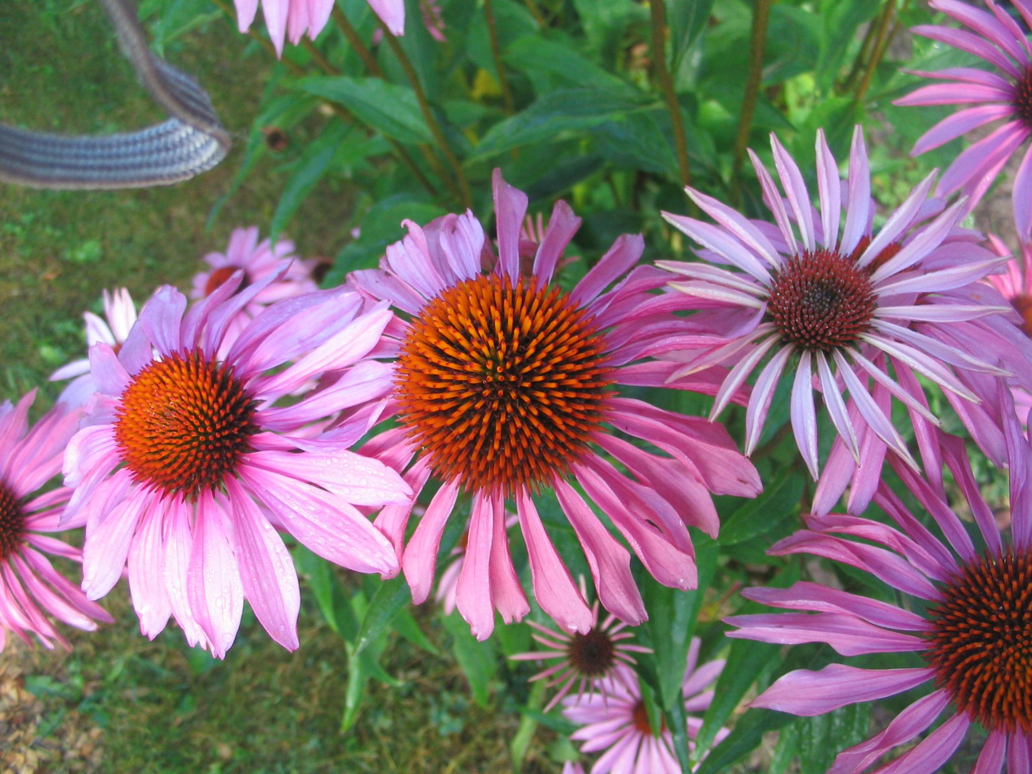 Purple coneflower (Ellen Jacquart)