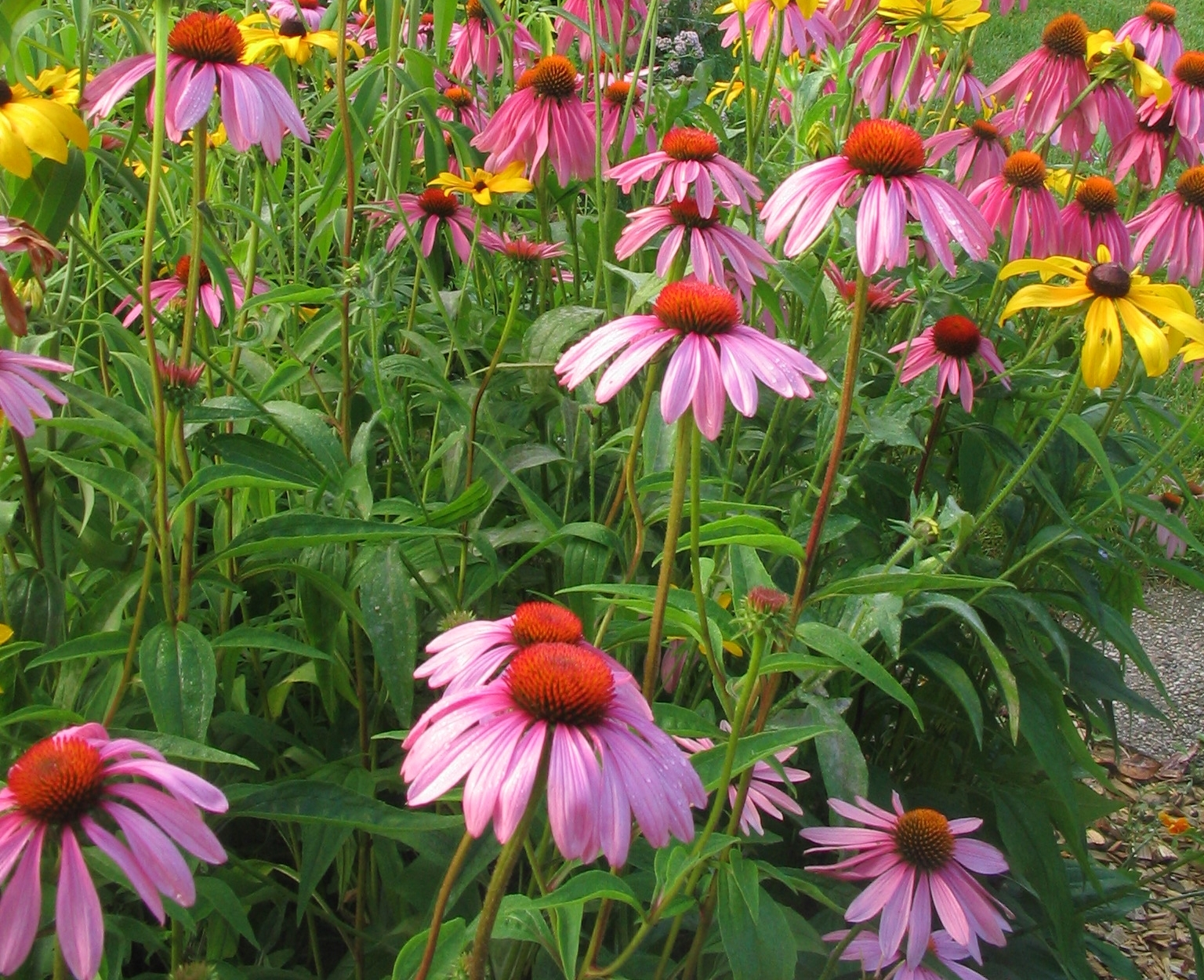 Purple coneflower and black eyed susans