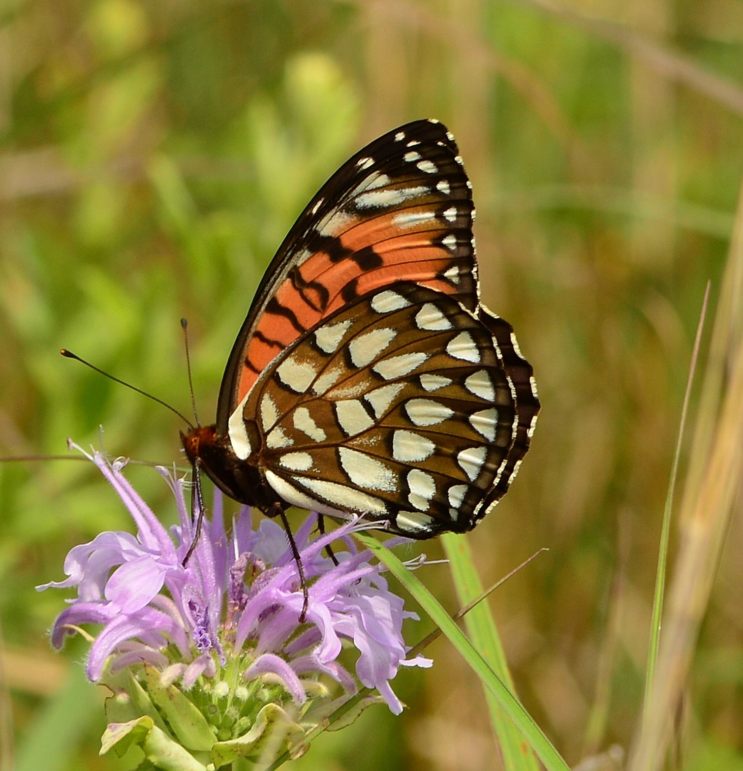 Wild bergamot with regal fritillary (Derek Luchik)