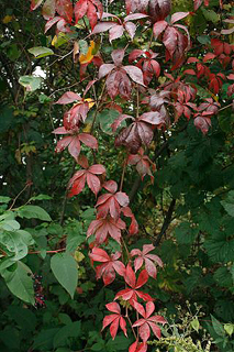 Virginia creeper (Mike Homoya)