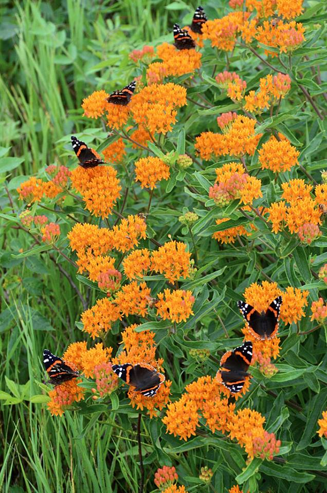 Red admirals on butterflyweed (Martin Lucas)