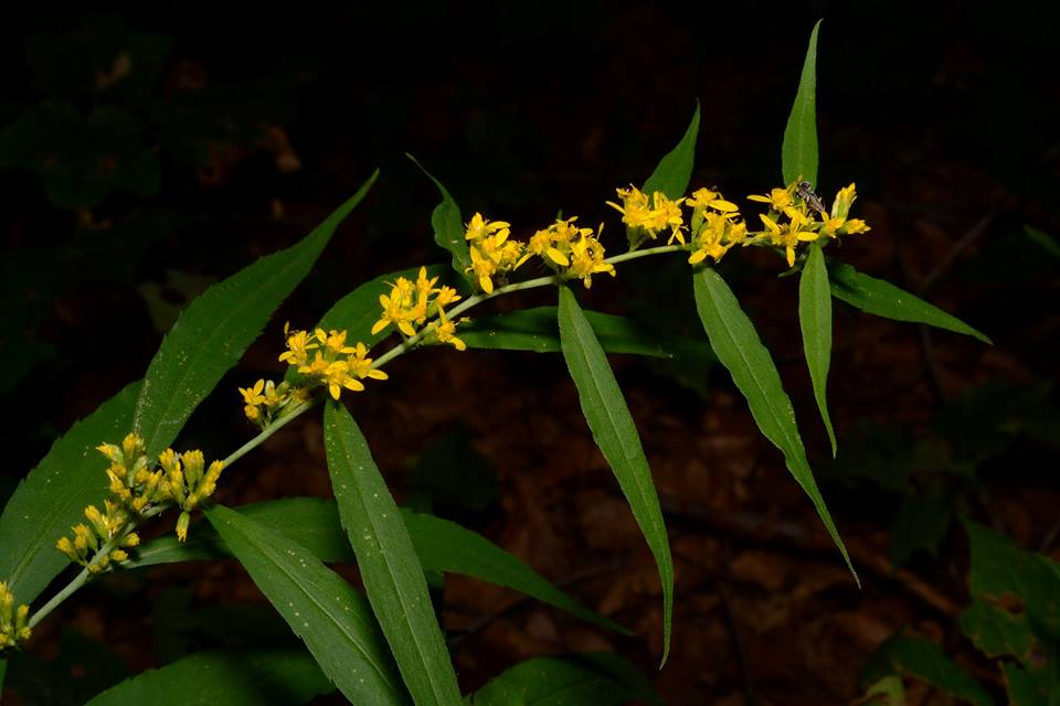 Blue-stemmed goldenrod (Keith Board)