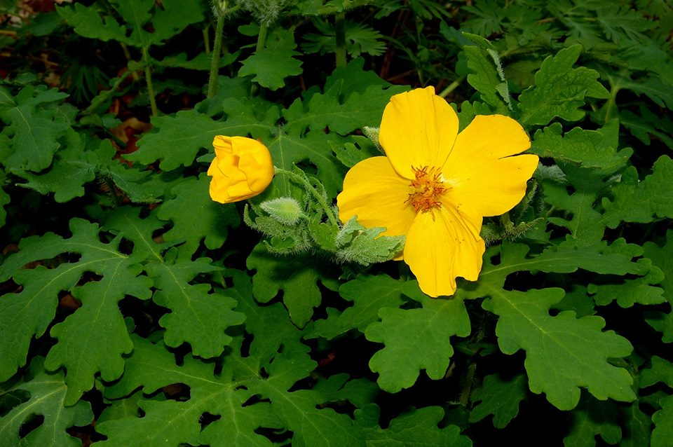 Celandine poppy (Keith Board)