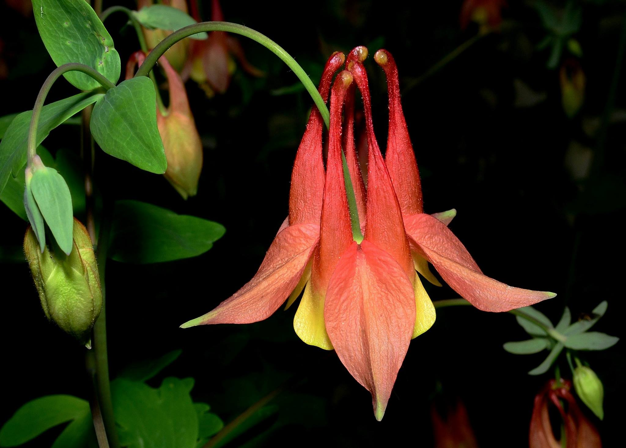 Wild Columbine (Keith Board)